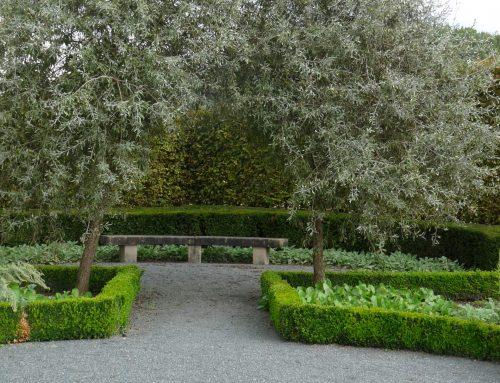 Ein falscher Olivenbaum